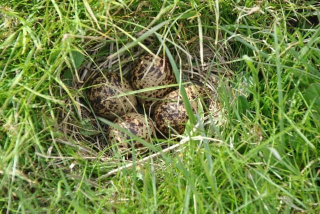 foto's Hegewier 4 eieren tureluur